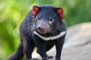 Tasmanian Devil กำเนิดอีกครั้ง หลังเคยสูญพันธุ์