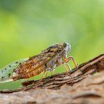 จักจั่น แมลงที่ WHO ประกาศ ถ้าทำเป็นอาหาร ไม่เหมาะกับคนที่แพ้อาหารทะเล
